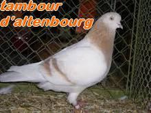 Les Pigeons d'ornement (fantaisie) Tambou10