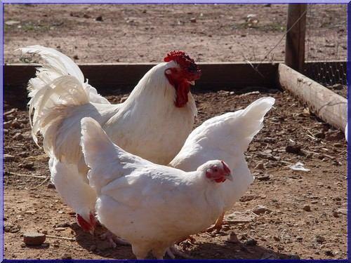 la poule Charollaise Trio10