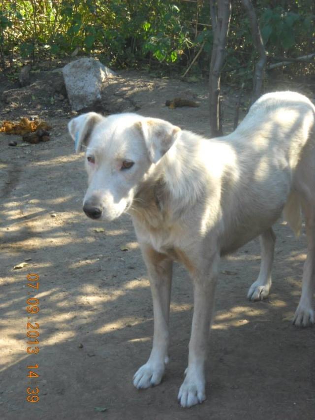 DULCE - Magnifique femelle Blanche - née en 2009 - Parrainée par Samie -SOS-FB-R-SC-  Dulce10