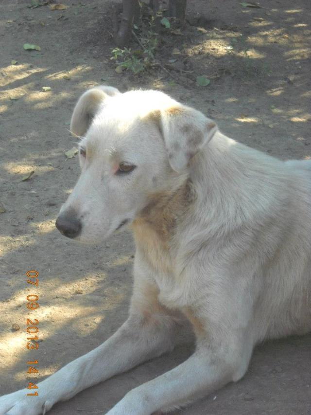 DULCE - Magnifique femelle Blanche - née en 2009 - Parrainée par Samie -SOS-FB-R-SC-  Dulce310