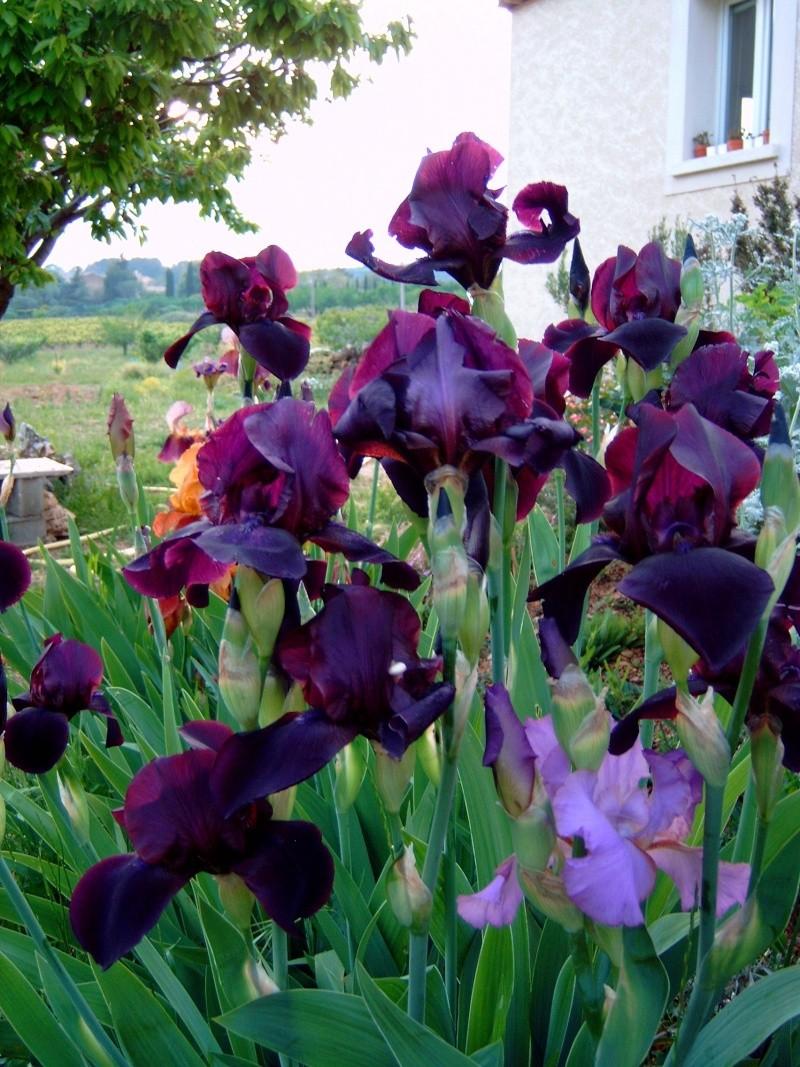 Iris Iris_010
