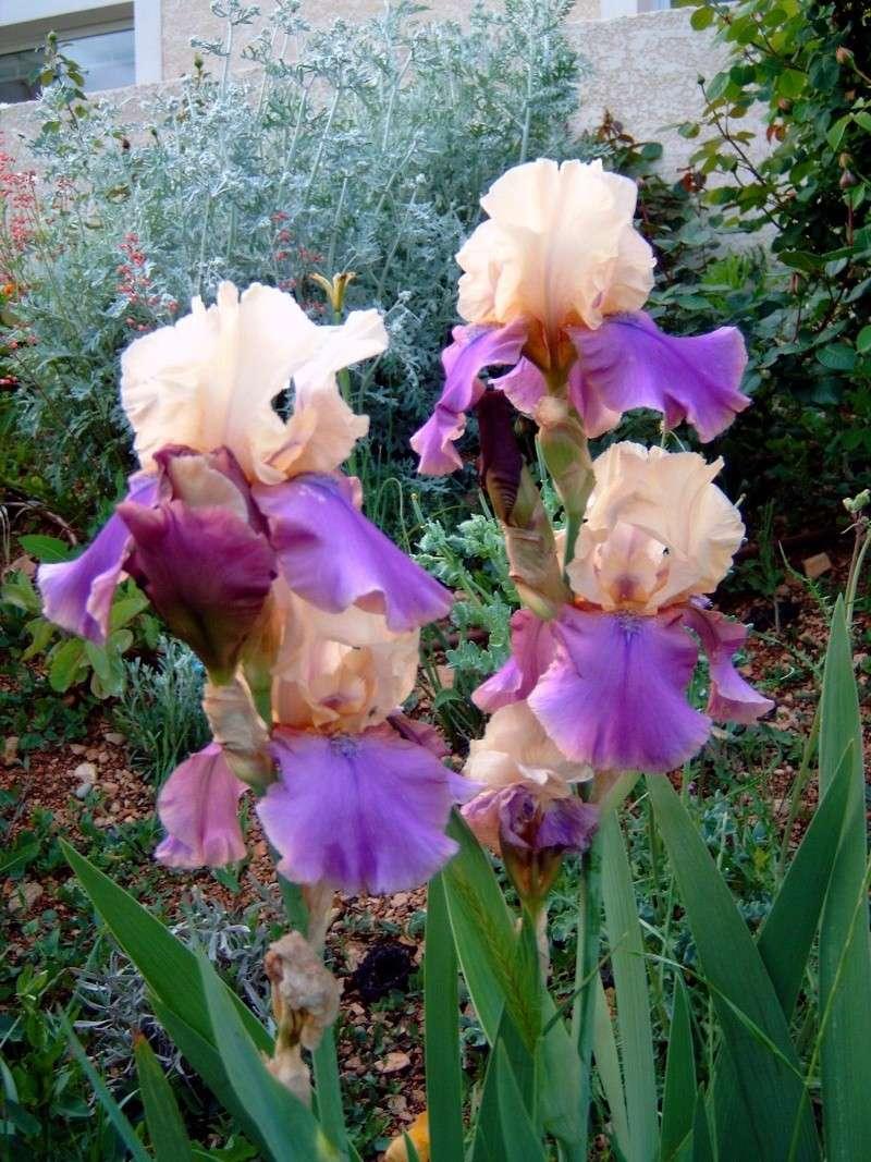 Iris Iris_014