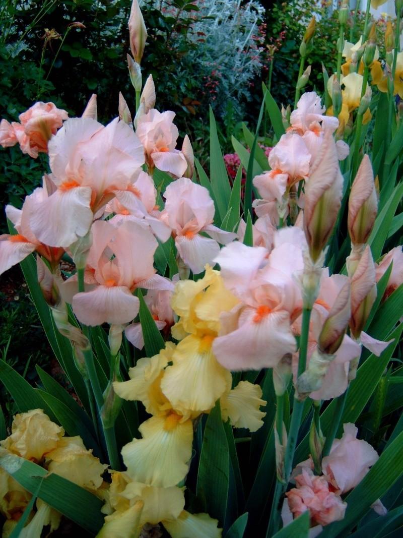 Iris Iris_015