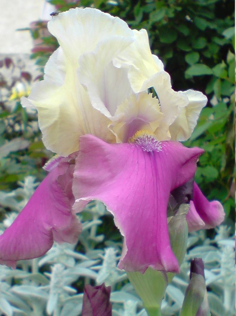 Iris - Page 2 Iris_113