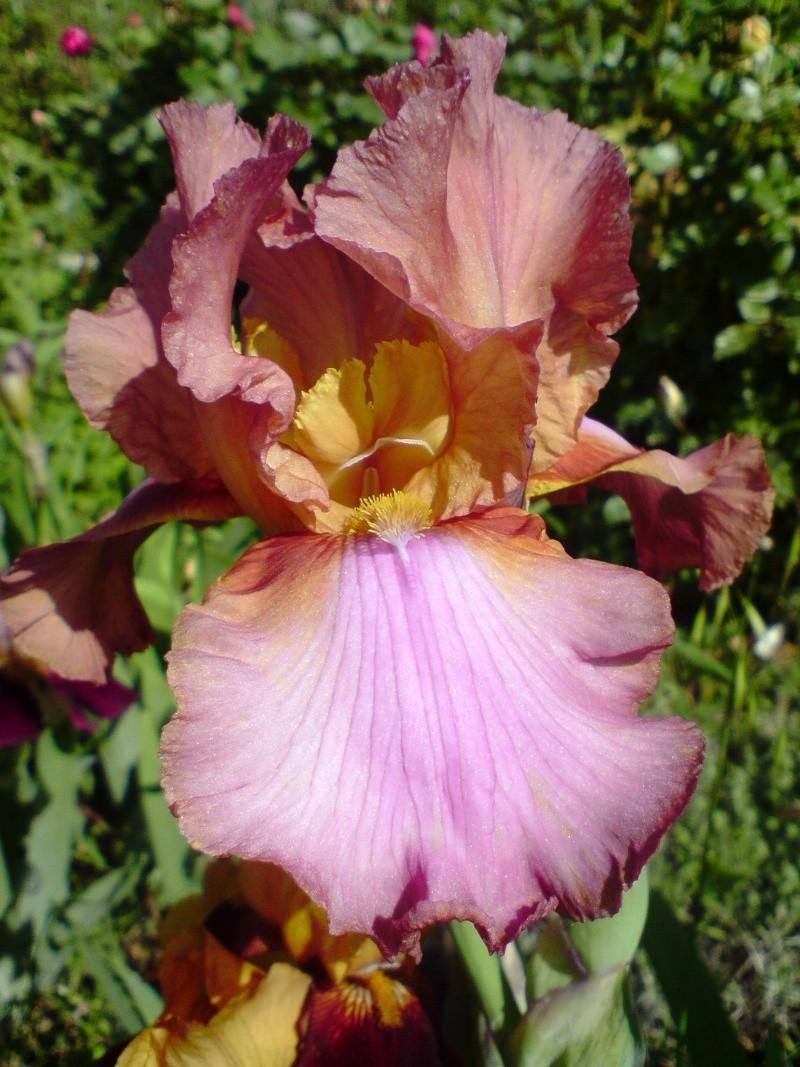 Iris - Page 2 Iris_116