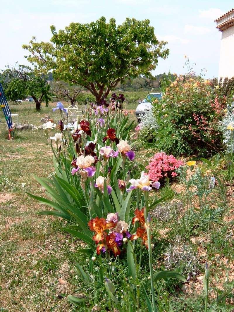Iris Iris_310