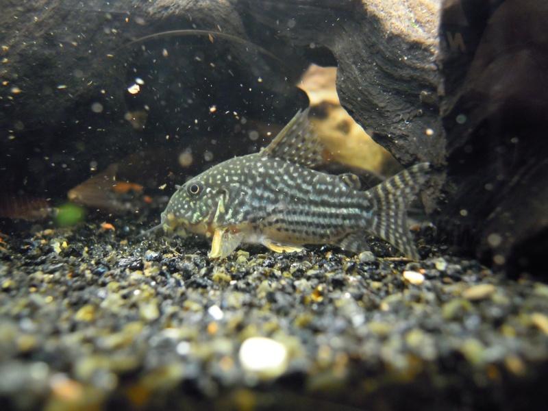 L'aquarium d'eleveur62 Dscn0110