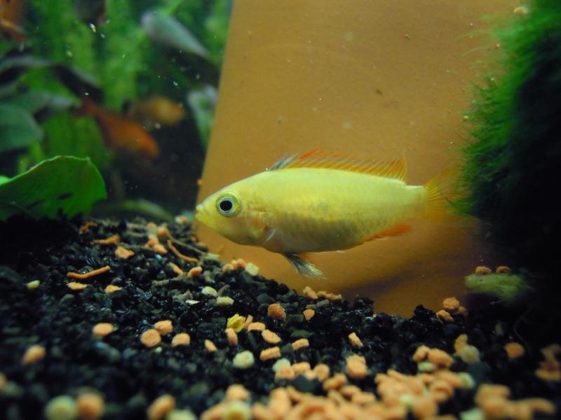 L'aquarium d'eleveur62 Dscn0112