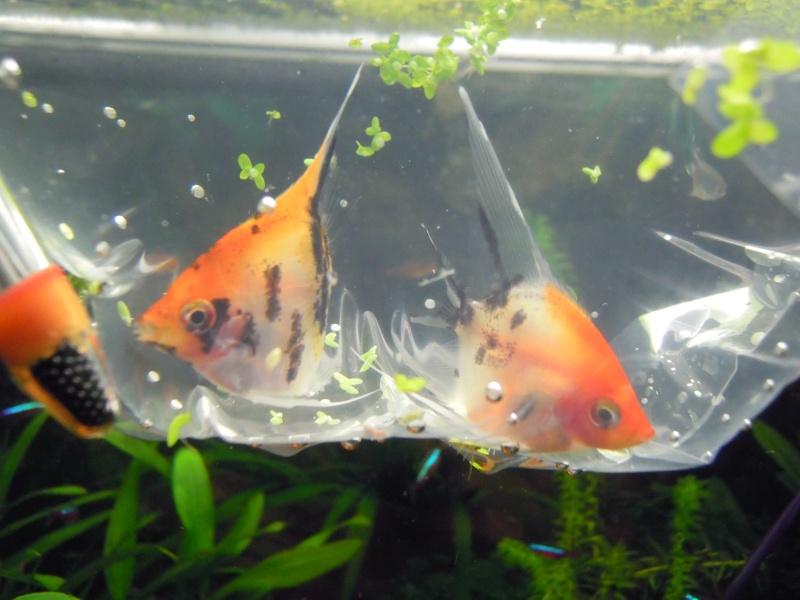 L'aquarium d'eleveur62 Dscn3910