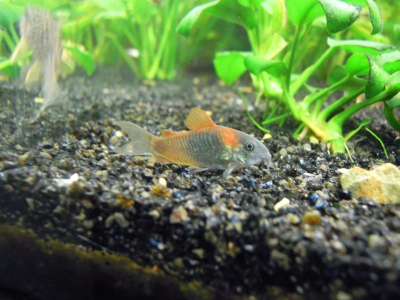 L'aquarium d'eleveur62 Dscn3911
