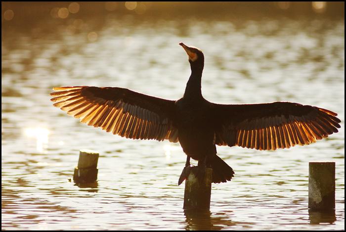 Petition contre le cormoran Phalac10
