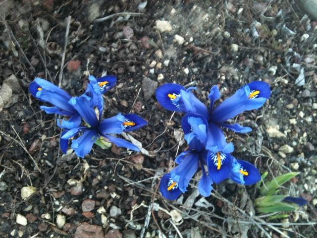 Iris reticulata Img_0111
