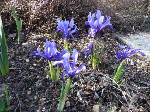 Iris reticulata P1120310