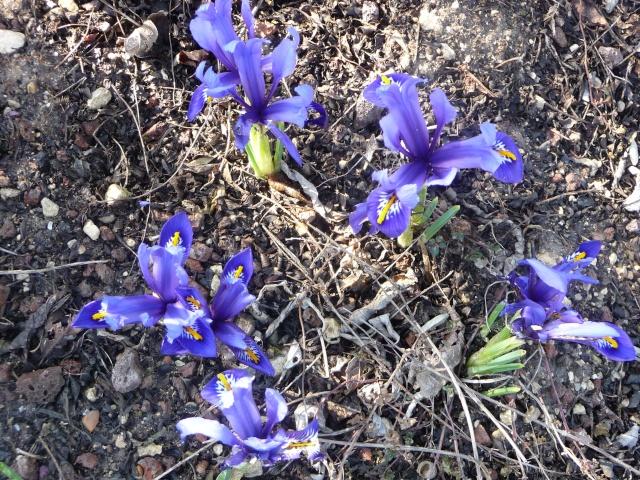 Iris reticulata P1120311