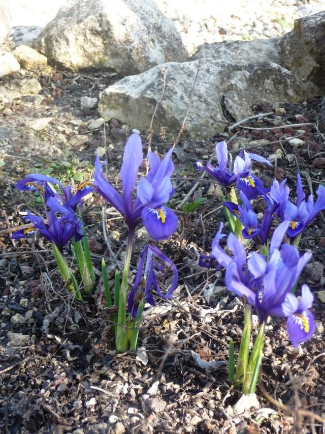 Iris reticulata P1120410