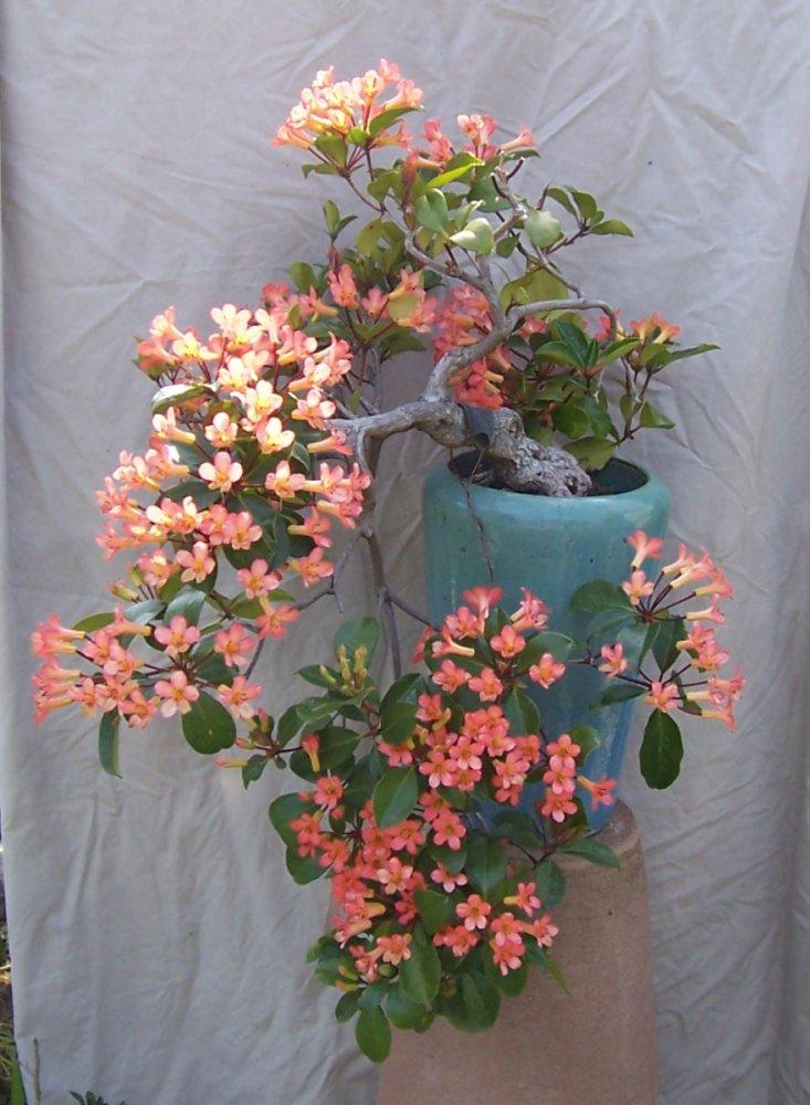 Vireya Rhododendron 100_5410