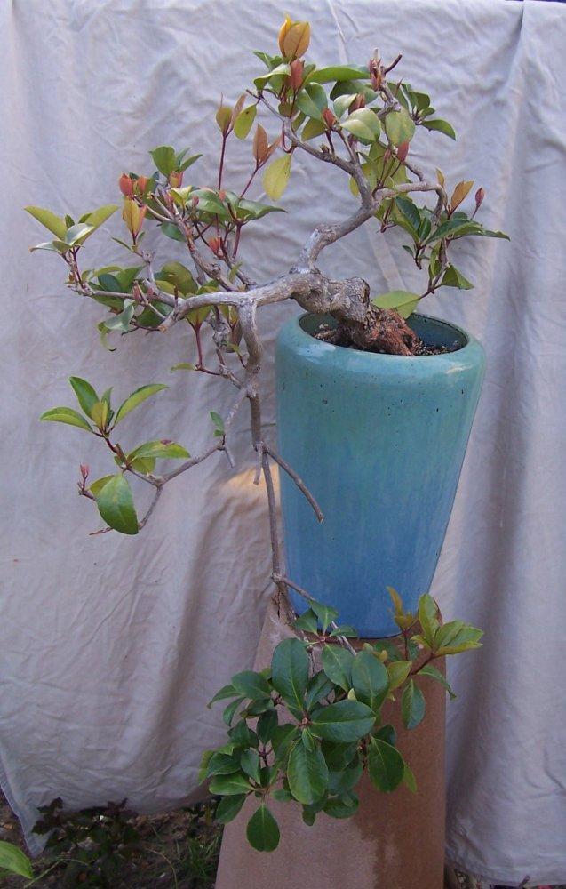 Vireya Rhododendron 100_5610