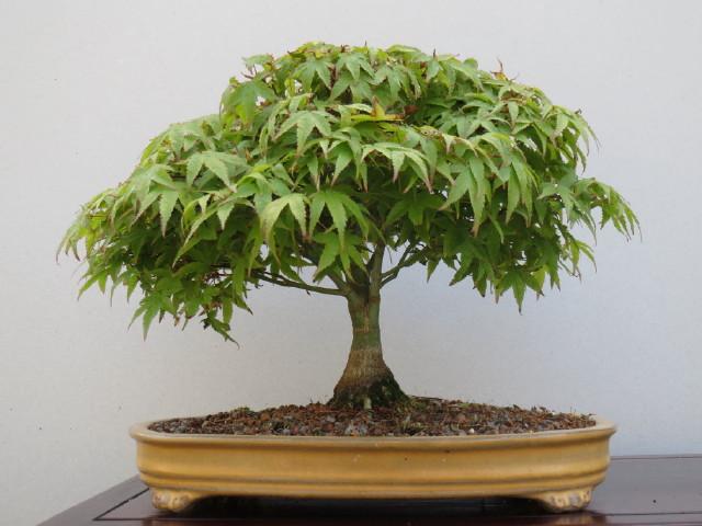 """acer palmatum """" Kiyohime"""" progress Img_0410"""