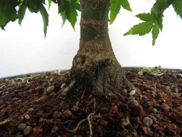 """acer palmatum """" Kiyohime"""" progress Img_3115"""