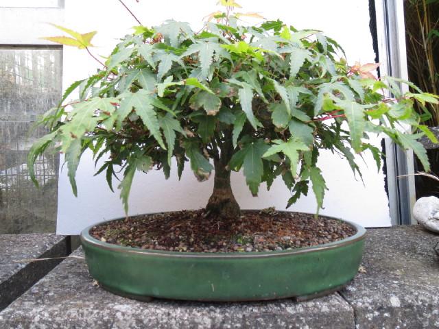 """acer palmatum """" Kiyohime"""" progress Img_3117"""