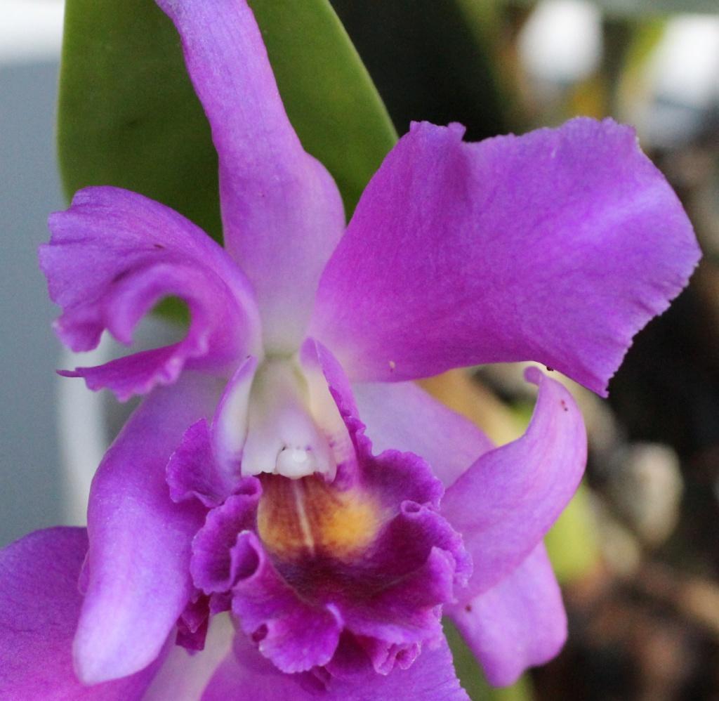 Cattlianthe Blue Boy x Cattleya lueddemanniana var. coerulea Cattli12