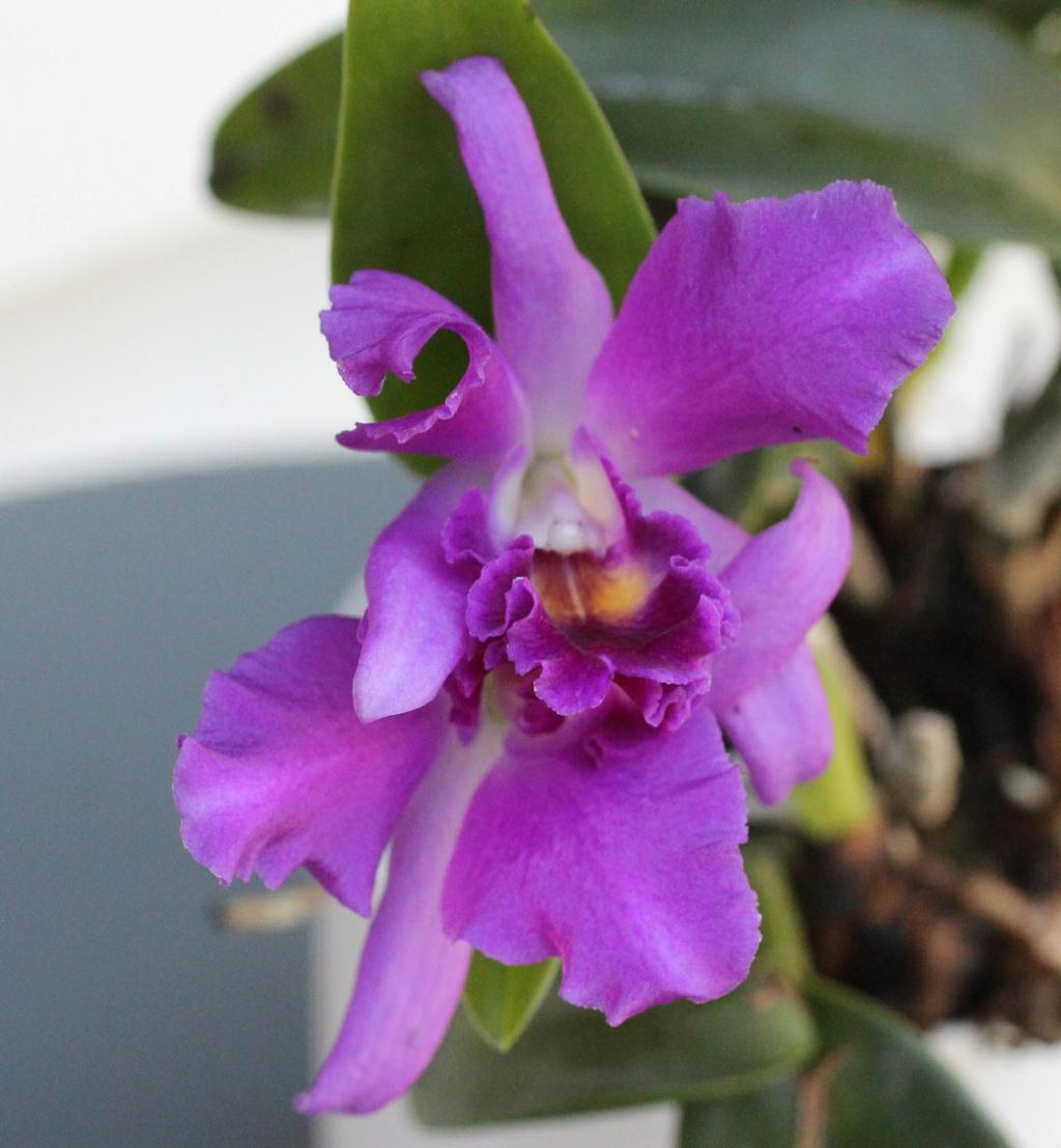 Cattlianthe Blue Boy x Cattleya lueddemanniana var. coerulea Cattli13