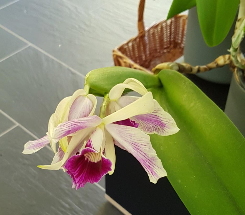 Laelia purpurata var. striata Laelia18