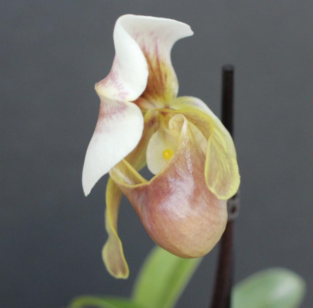 Paphiopedilum helenae x coccineum Paphio36