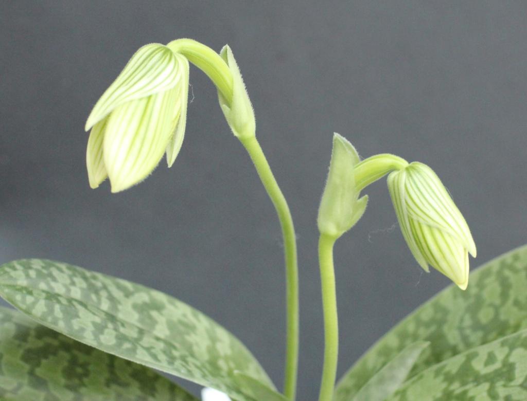Paphiopedilum venustum f. measuresianum Paphio49