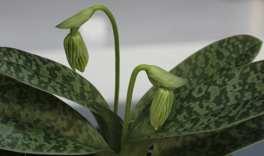 Paphiopedilum venustum f. measuresianum Paphio50