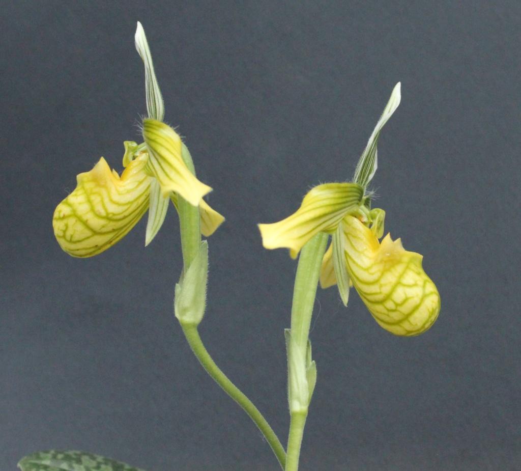 Paphiopedilum venustum f. measuresianum Paphio53