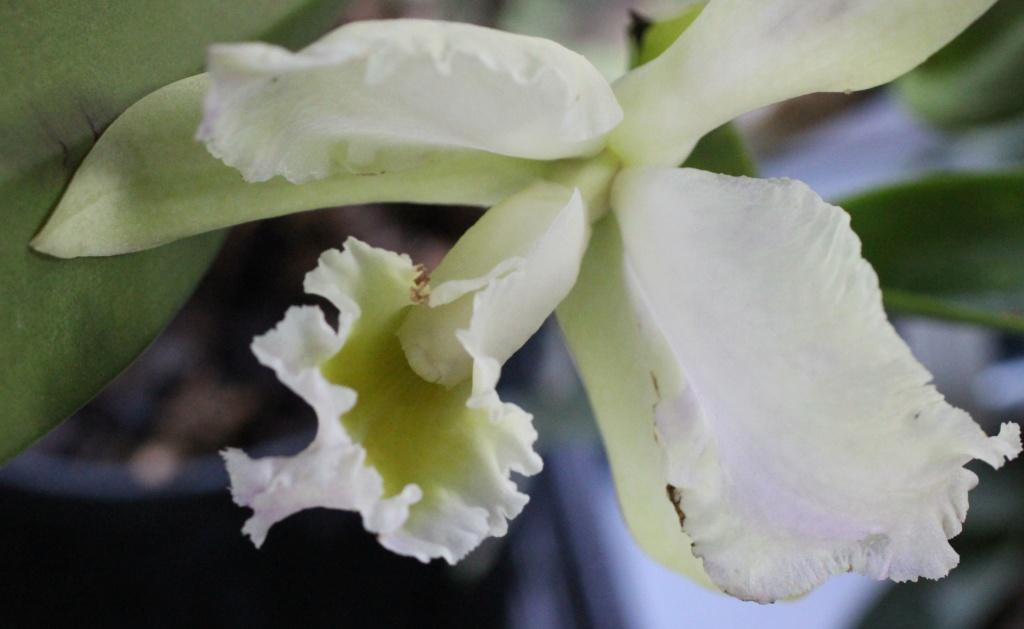 Rhyncolaeliocattleya Thalie Rhynco12