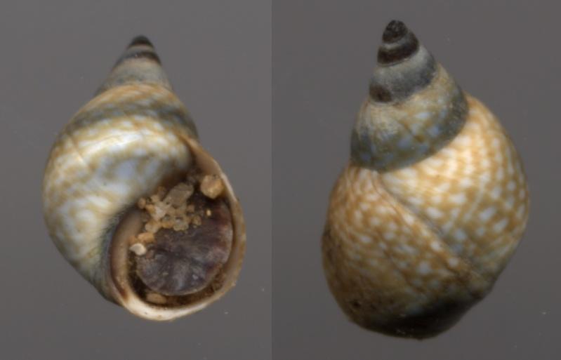Echinolittorina punctata - (Gmelin, 1791) Echino10