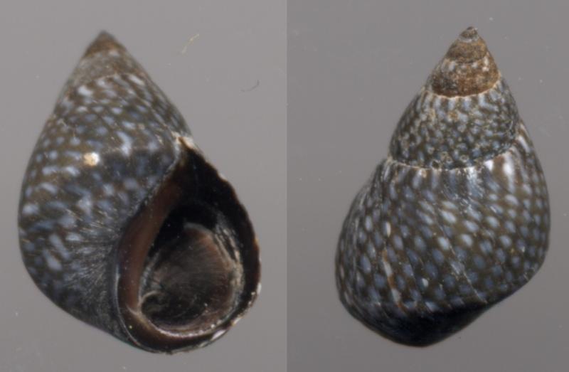 Echinolittorina caboverdensis - Reid, 2011  Echino11