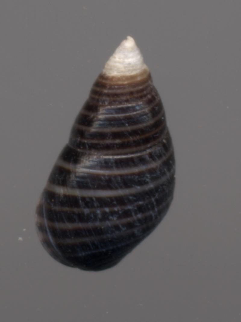 Angiola lineata - (da Costa, 1778) Littor11