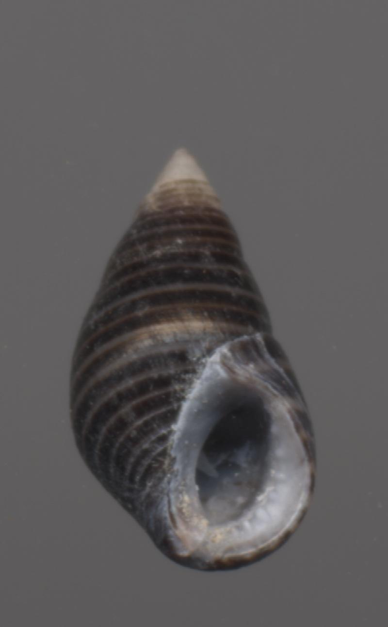 Angiola lineata - (da Costa, 1778) Littor12