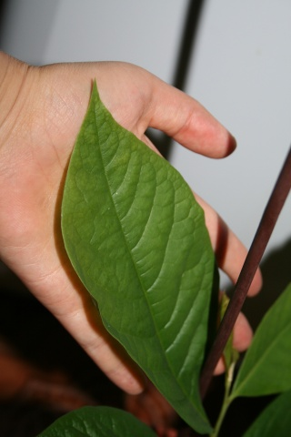 Qui veut cultiver  paw paw / Asimina triloba  (asiminier)? - Page 3 Cultur10