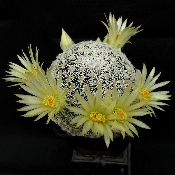 Mammillaria solisioides Mammil10