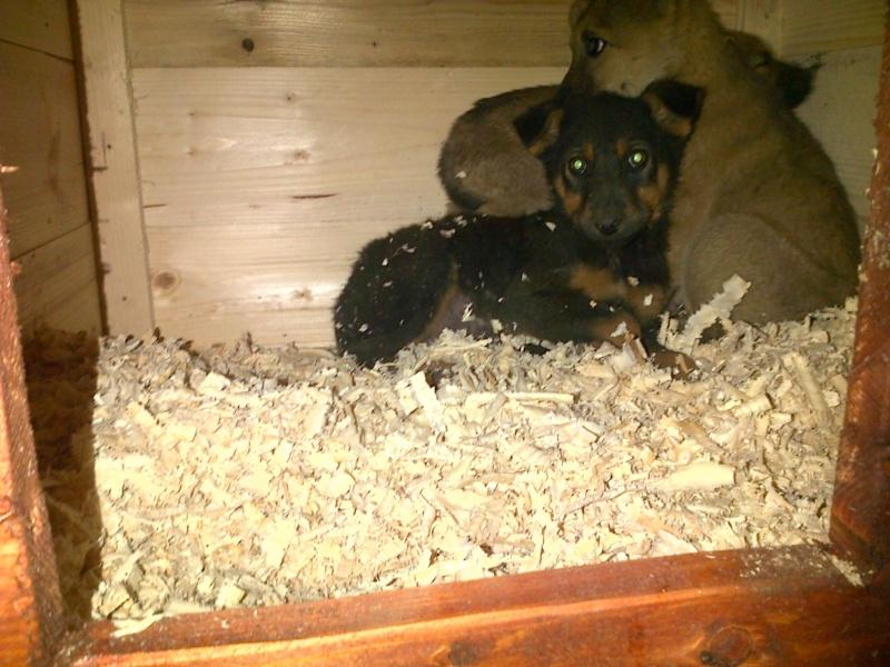 RUBIS, chiot femelle x berger, née env août 2014 (Pascani) - adoptée par Déborah (dpt13) -.décédée 10756410