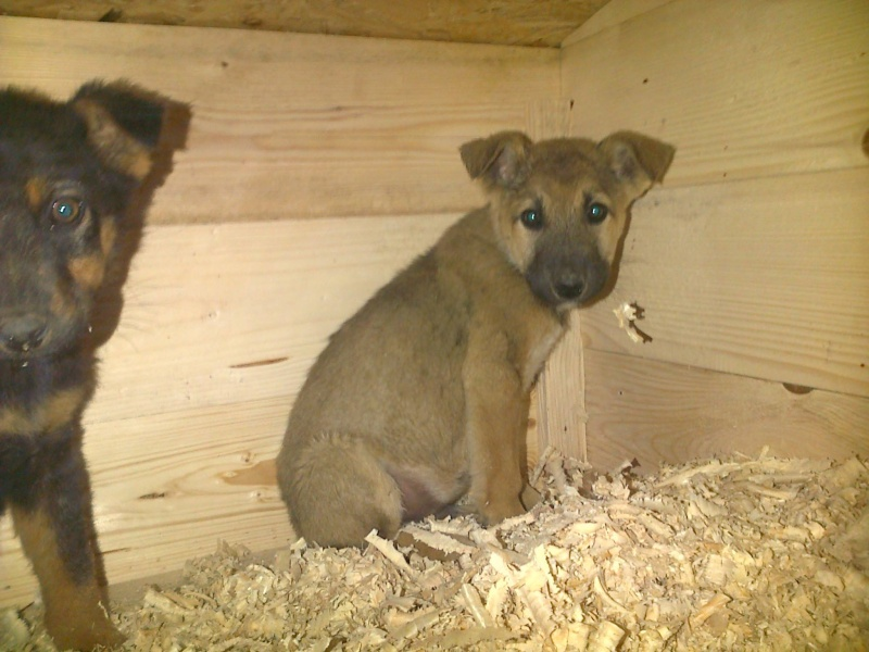 AZUR, chiot mâle x berger, né en 2014 (Pascani) - adopté par Marion Wolffer (dpt67) 10756610