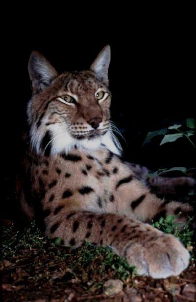 Chat Lynx Domestique Luchs10