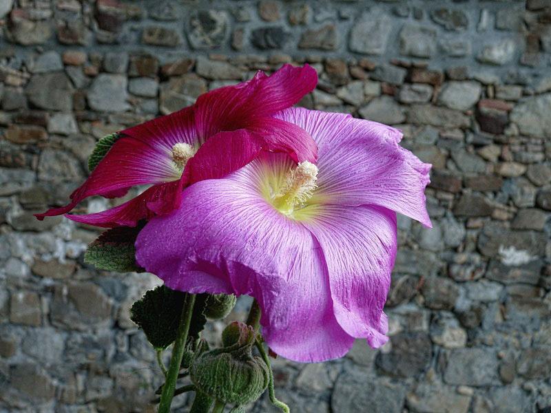En rose et mauve  210