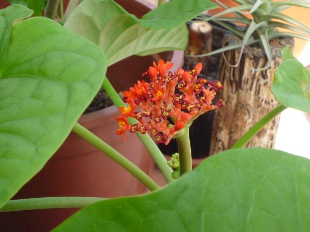 Jatropha multifida :arbre corail P1030110