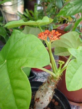 Jatropha multifida :arbre corail P1030111