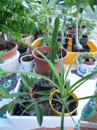 Kalanchoe et Bryophyllum - identifications [verrouillé] - Page 2 P1040012