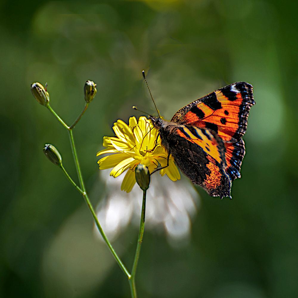 [Macro_et_Proxy] Papillon Sans_t28