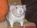 male de 1,5 mois bleu dumbo, dans le 77 Lila10