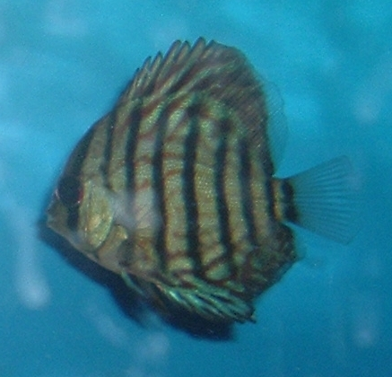 My Discus Pics!! (everything for sale now!!) Before11