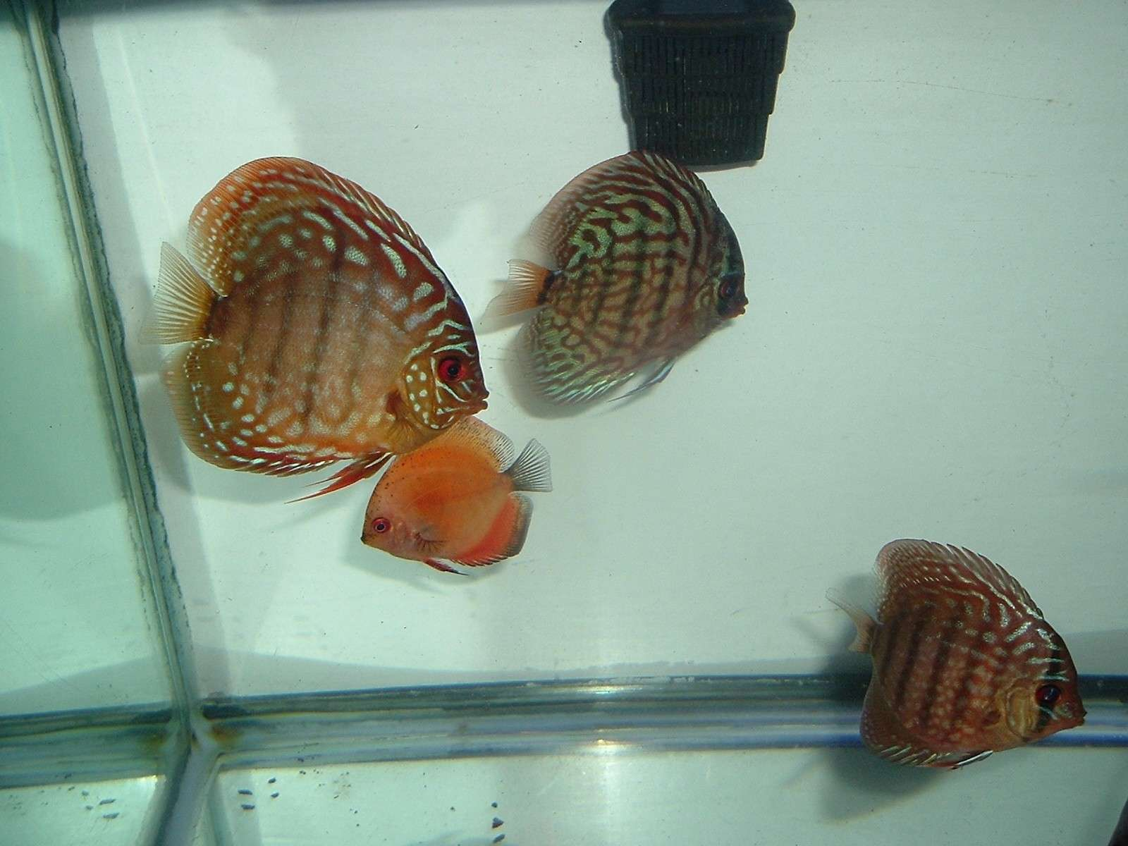 My Discus Pics!! (everything for sale now!!) P410