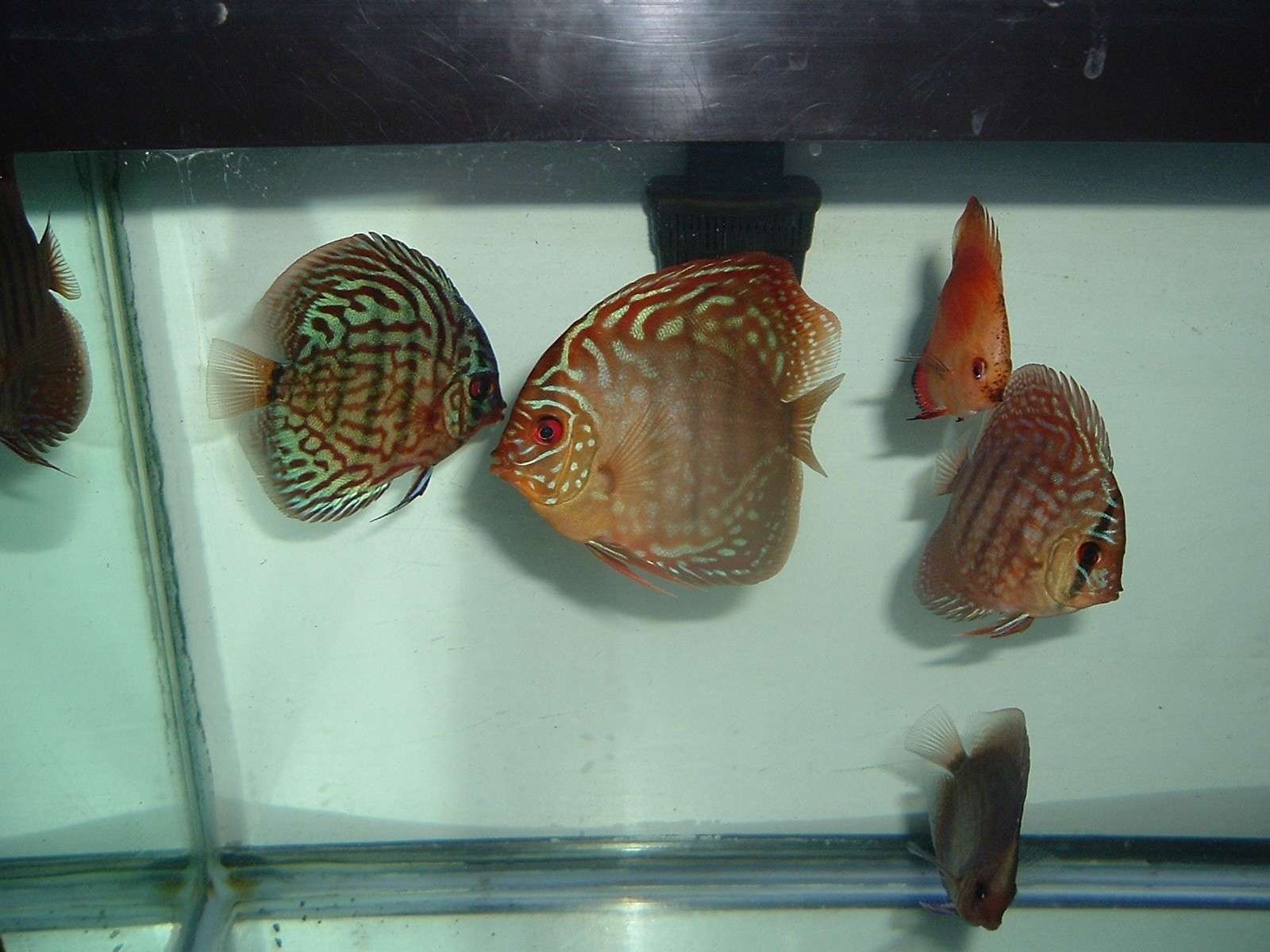 My Discus Pics!! (everything for sale now!!) P710